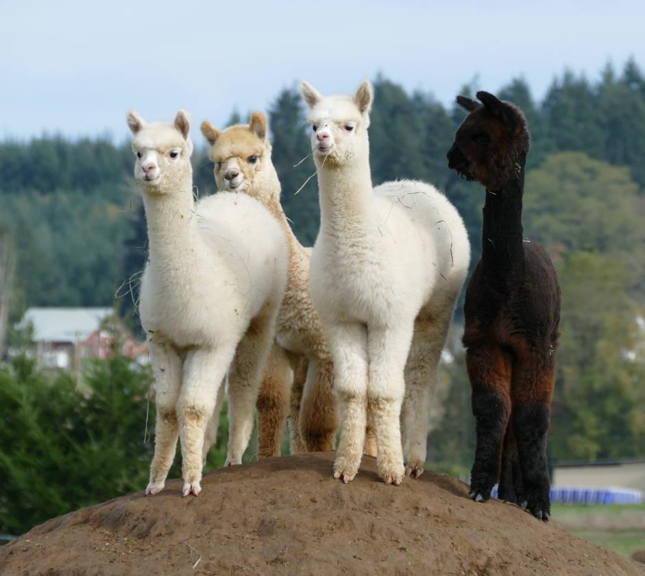 http://lacenteralpacafest.com/wp-content/uploads/2018/09/alpacas_on_a_hill.jpg